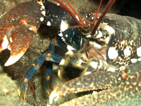 vídeos de stock, filmes e b-roll de mws  lobster pears out between kelp then moves away - parte do corpo animal