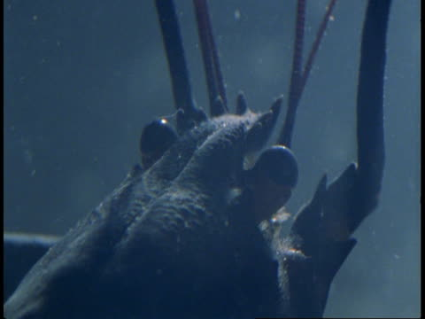 a lobster settles on a sandy seabed. - animal antenna stock videos & royalty-free footage