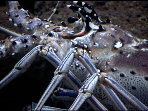 stockvideo's en b-roll-footage met lobster swimming in acuarium - voelspriet