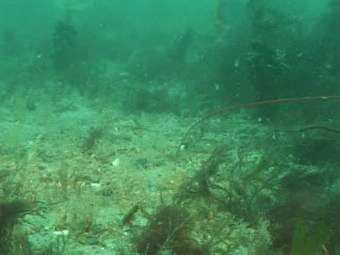 cu lobster walking across seabed, spider crab appears in the foreground. channel island, uk - animal antenna stock videos & royalty-free footage