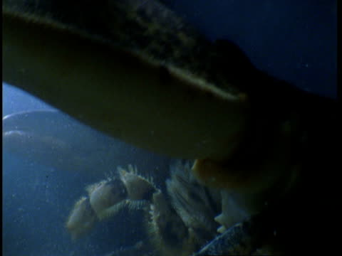 stockvideo's en b-roll-footage met a lobster wiggles its antennae as it crawls along the seabed. - voelspriet