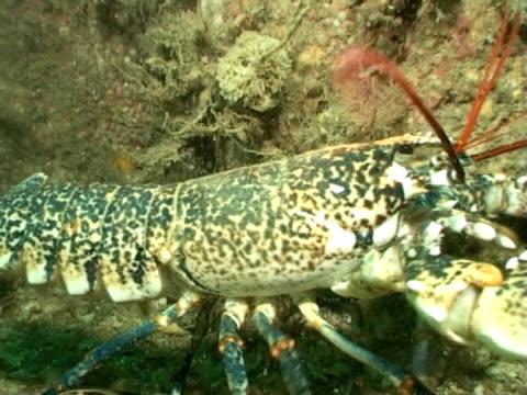vídeos y material grabado en eventos de stock de mws  lobster  - zoom to cu - lecho del mar