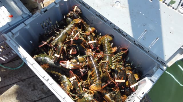 lobstermen are seen at work at the conary cove lobster co inc. wharf on july 01, 2019 in deer isle, maine. studies indicate that since 1982 the... - maine stock videos & royalty-free footage