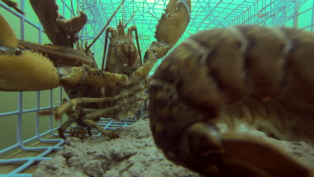 lobsters bumping into each other inside a lobster cage - lobster stock videos and b-roll footage