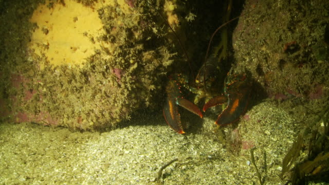 lobsters hide between large boulders then dart away - ロブスター点の映像素材/bロール