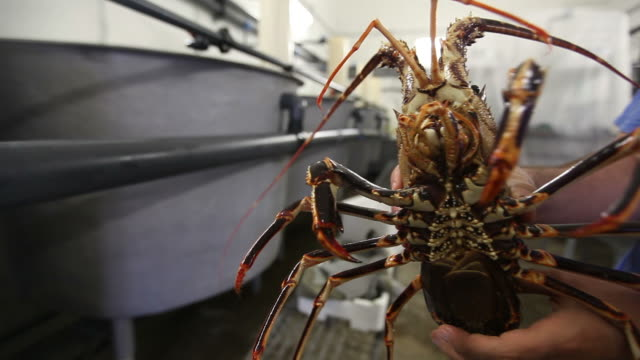 Lobsters in a breeding laboratory