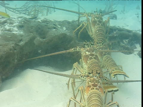 lobsters walk in line over sea bed, bimini islands - in a row stock videos & royalty-free footage