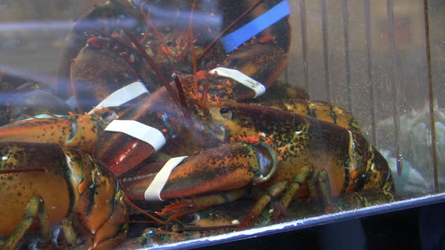 cu, lobsters with tied claws in chinatown restaurant window, new york city, new york, usa - lobster stock videos & royalty-free footage