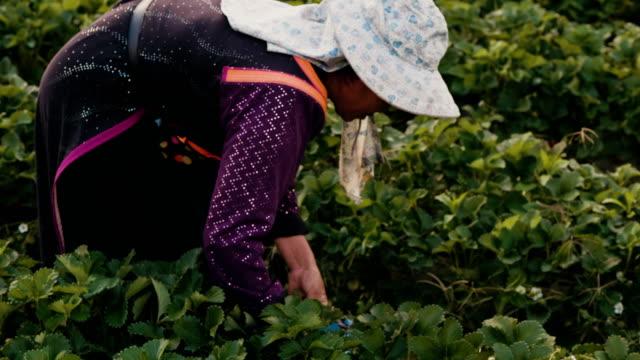 vídeos y material grabado en eventos de stock de fresa de cosecha de agricultura local - accesorio de cabeza