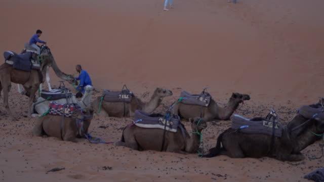 vídeos y material grabado en eventos de stock de local bedouins and his son taking care of camels at the dunes of erg chebbi at sunset, saharan morocco - genderblend
