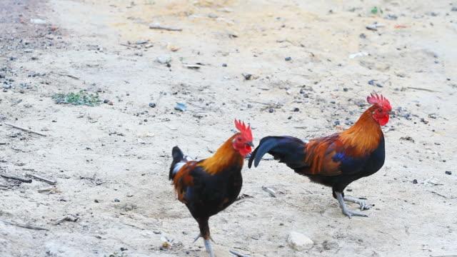 HD : Local Chicken Walking