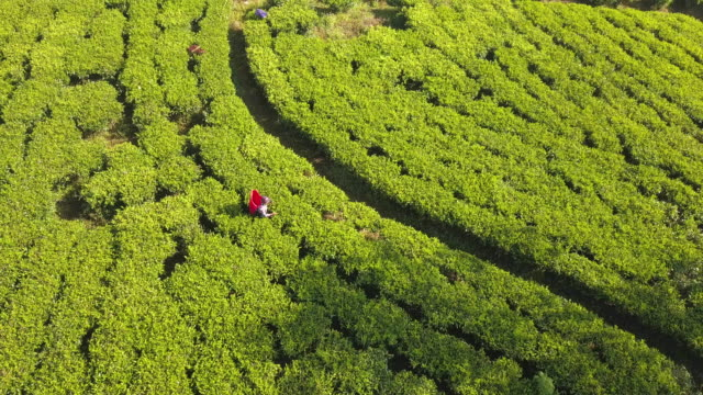 local ethnic woman picking tea leaves on plantation in sri lanka - 温かいお茶点の映像素材/bロール