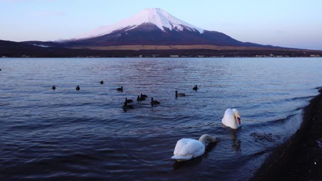 A Local Feeding Swans at Lake Yamanaka as Mt. Fuji Getting Pink in the Morning