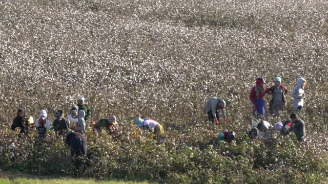 stockvideo's en b-roll-footage met local kurdish people working in cotton field, picking cotton, southeast turkey - katoen