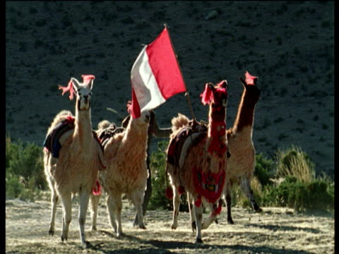local man herds four llamas wearing traditional decorations up mountain side one has flag of peru attached to saddle - lama oggetto creato dall'uomo video stock e b–roll