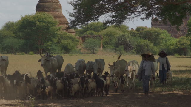 l/s local shepherdesses herding cows and goats in bagan, myanmar - herding stock videos & royalty-free footage
