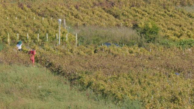vídeos y material grabado en eventos de stock de locals harvesting grapes in lumbarda vineyards, korcula island, dalmatia, croatia, europe - encuadre de tres cuartos