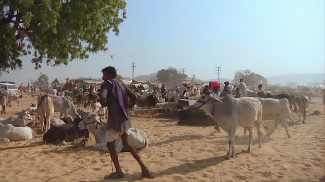 ws locals leading cows with ropes through livestock market / pushskar, rajasthan, india - mittelgroße tiergruppe stock-videos und b-roll-filmmaterial