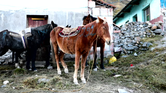 locals try to rent their mules as pilgrims begin to arrive for the start of the annual qoyllur rit'i festival on may 27, 2018 in ocongate, peru.... - religious celebration stock videos & royalty-free footage