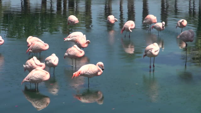 lock down of many white flamingos standing at palm springs - palm springs california stock videos & royalty-free footage