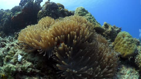 lockdown: clown fish hiding in the corals of bali indonesia - hiding stock videos & royalty-free footage