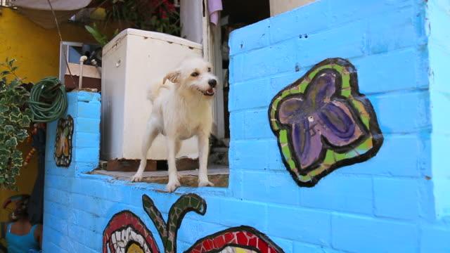 vídeos de stock, filmes e b-roll de lockdown: dog on top of colorful wall in brazil - pinta
