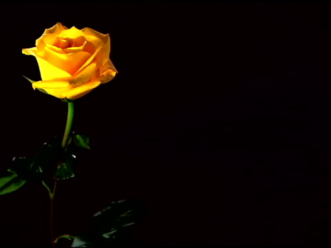 vídeos de stock e filmes b-roll de lockdown medium shot of a single yellow rose on the left side of the frame. - caule de planta