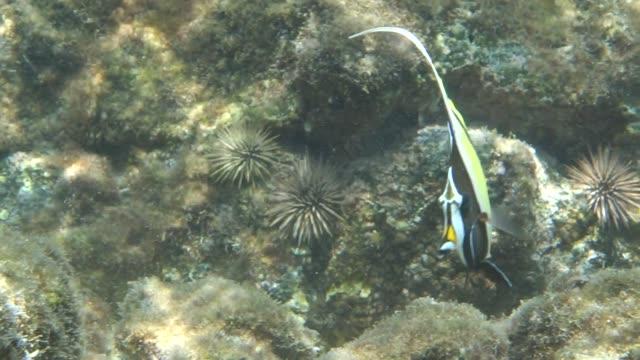 lockdown: moorish idol fish moving left and right with the corals beneath it - moorish idol stock videos and b-roll footage