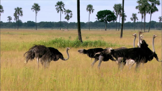 Lockdown of flock of ostriches standing in grassland and looking around / pan right across flock / a few spooked ostriches running away briefly