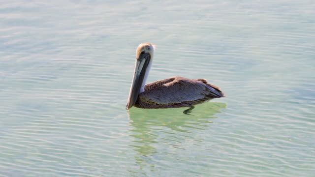 lockdown: pelican swimming in during sunny day, bird floating on water - belize city, belize - water bird stock videos & royalty-free footage