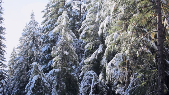 Lockdown: Pine Trees Covered With Snow