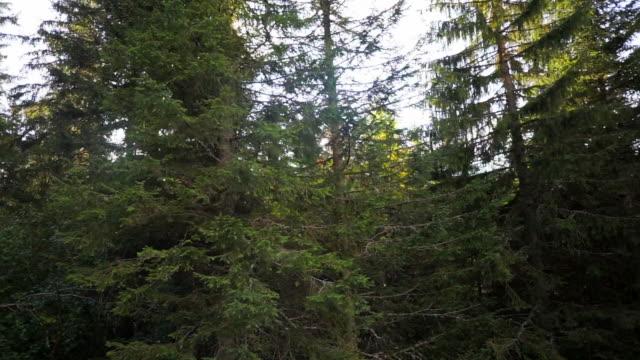 vídeos de stock e filmes b-roll de lockdown: pine trees of kleine scheidegg switzerland covering the area - pine
