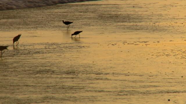 lockdown: sand piper birds on huntington beach - huntington beach california stock videos and b-roll footage