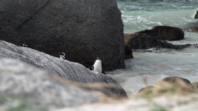 vídeos y material grabado en eventos de stock de lockdown shot of a cute penguin jumping onto a huge rock on a scenic shore, joining other penguins - cape town, south africa - otros temas