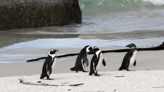 lockdown shot of a cute penguin waddling away from the others on a scenic shore - cape town, south africa - waddling stock videos & royalty-free footage
