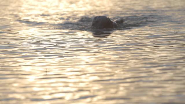 vídeos de stock, filmes e b-roll de lockdown shot of determined swimmer swimming in lake during sunset - touca de natação