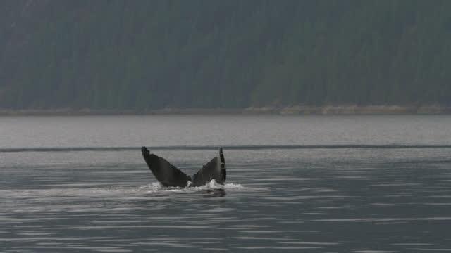 vídeos y material grabado en eventos de stock de lockdown shot of dolphin diving into water against forest - british columbia, canada - cetáceo