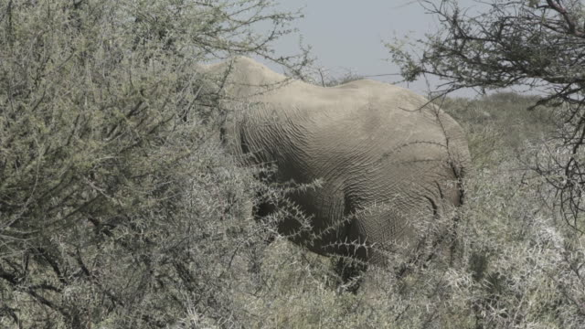 lockdown shot of elephant standing by thorny plants at national park - etosha national park, namibia - thorn stock videos & royalty-free footage