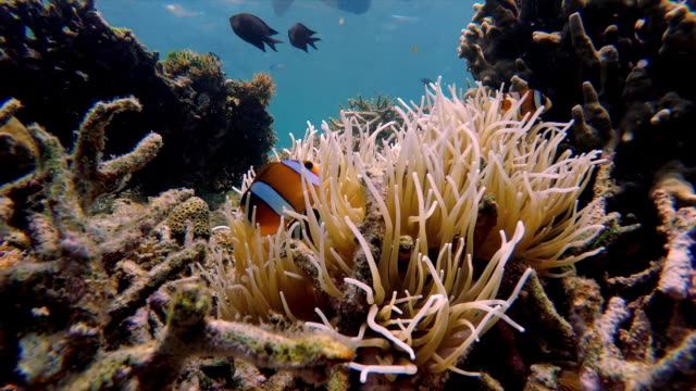 lockdown shot of fish swimming around sea anemone and coral, young man snorkeling underwater - lombok, bali - reef stock videos & royalty-free footage