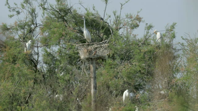 lockdown shot of herons perching on green trees against sky during sunny day during sunny day - camargue, france - perching stock videos & royalty-free footage