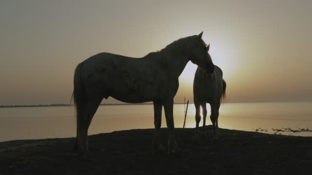 vídeos de stock, filmes e b-roll de lockdown shot of horses rough housing on shore at beach against orange sky during sunrise - camargue, france - forma da água