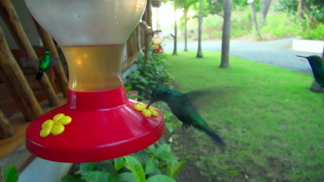 Lockdown Shot of Humming Birds of Panama