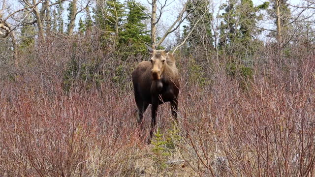 lockdown shot of moose standing amidst bare plants in forest - delta junction, alaska - 干し草点の映像素材/bロール