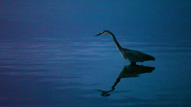 lockdown shot of sandpiper bird standing in water during evening - british columbia, canada - シギ科点の映像素材/bロール