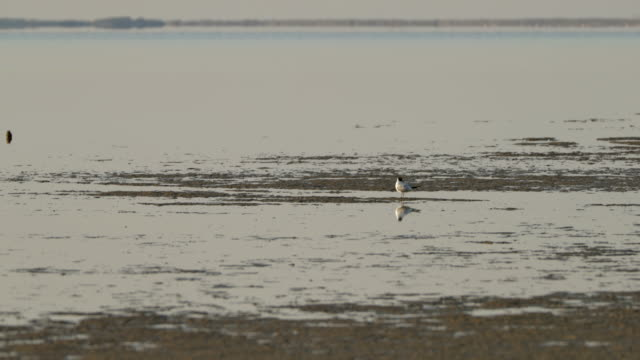lockdown shot of seagull perching on shore during low tide - camargue, france - low tide stock videos & royalty-free footage