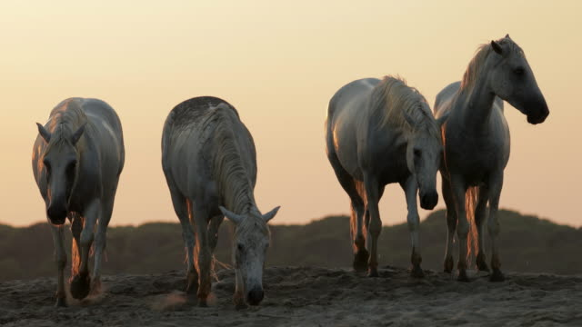 lockdown shot of wet horses standing on sand at beach against sky during sunset - camargue, france - cavalry stock videos & royalty-free footage