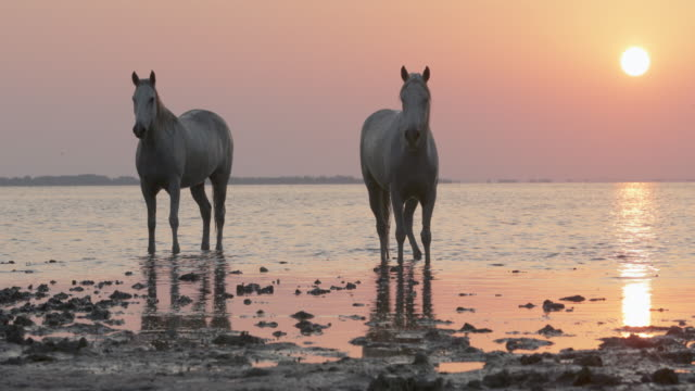 lockdown shot of white horses standing on riverbank against orange sky during sunset - camargue, france - cavalry stock videos & royalty-free footage