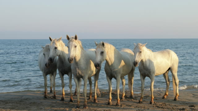 lockdown shot of white horses standing on shore at beach against sky during sunny day - camargue, france - cavalry stock videos & royalty-free footage