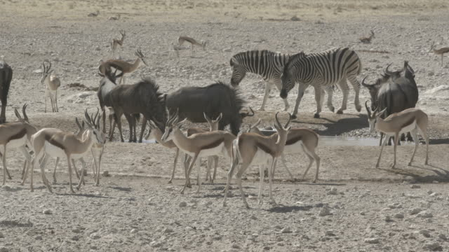 stockvideo's en b-roll-footage met lockdown shot of wild animals by pond on landscape at national park during sunny day - etosha national park, namibia - vachtpatroon