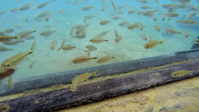 lockdown: small fish swimming around wood in chapada, brazil - small stock videos & royalty-free footage
